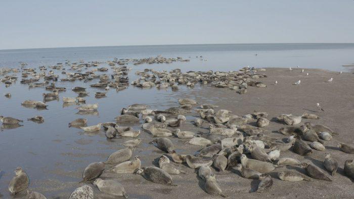 Каспийские тюлени.